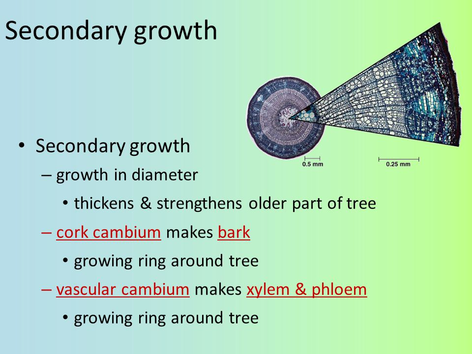 Woody plants grow in height from tip – primary growth – apical meristem Woody plants grow in diameter from sides – secondary growth – lateral meristems vascular cambium – makes 2° phloem & 2° xylem cork cambium – makes bark Growth in woody plants Primary phloem Primary xylem Secondary phloem Secondary xylem Annual growth layers Lateral meristems Primary xylem Primary phloem Bark Epidermis