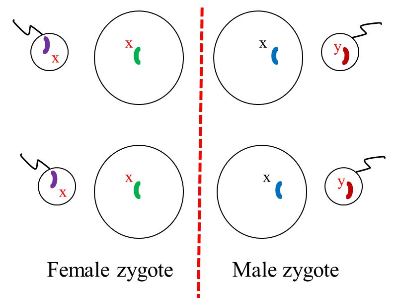 When a recessive allele combines with a dominant allele, the dominant allele determine how the person will look.