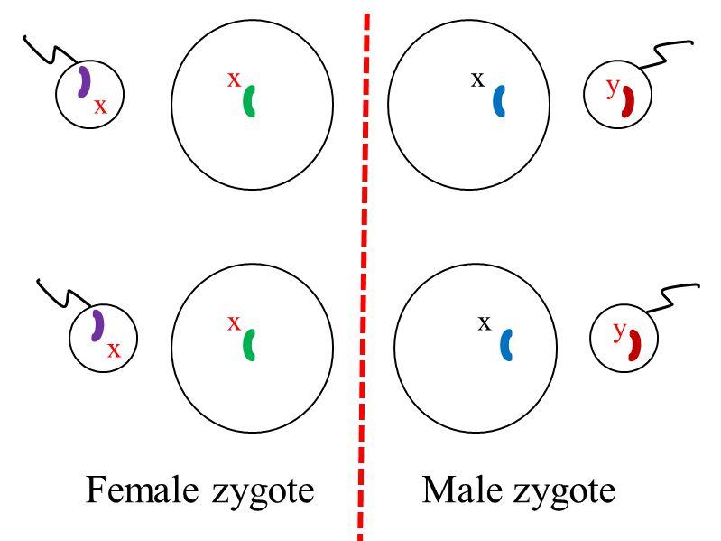 xx x y Female zygoteMale zygote xx x y