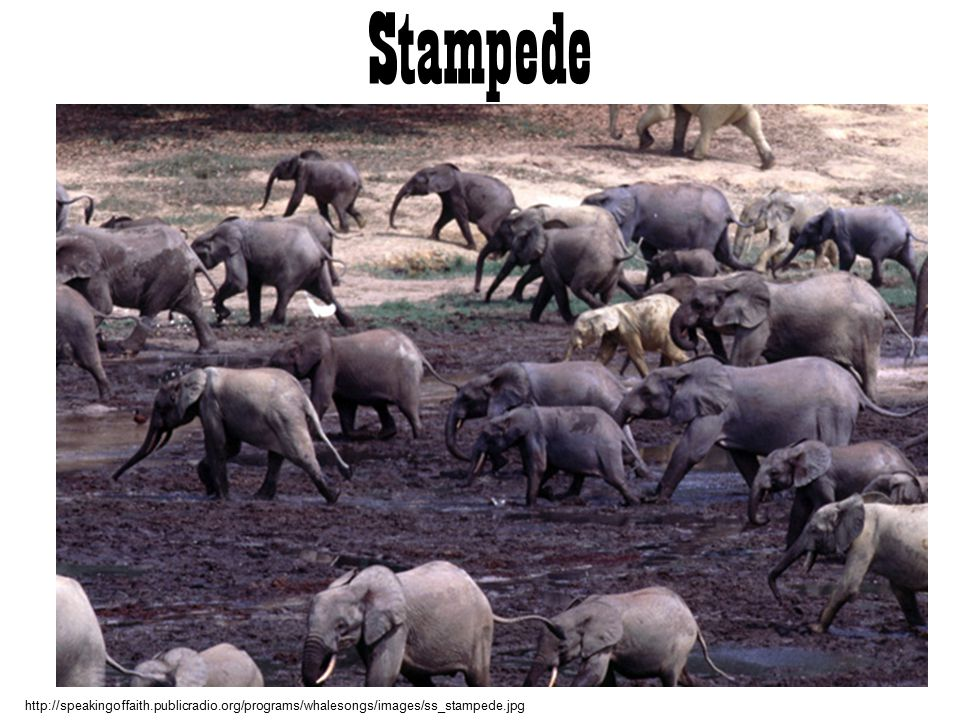 Stampede http://speakingoffaith.publicradio.org/programs/whalesongs/images/ss_stampede.jpg