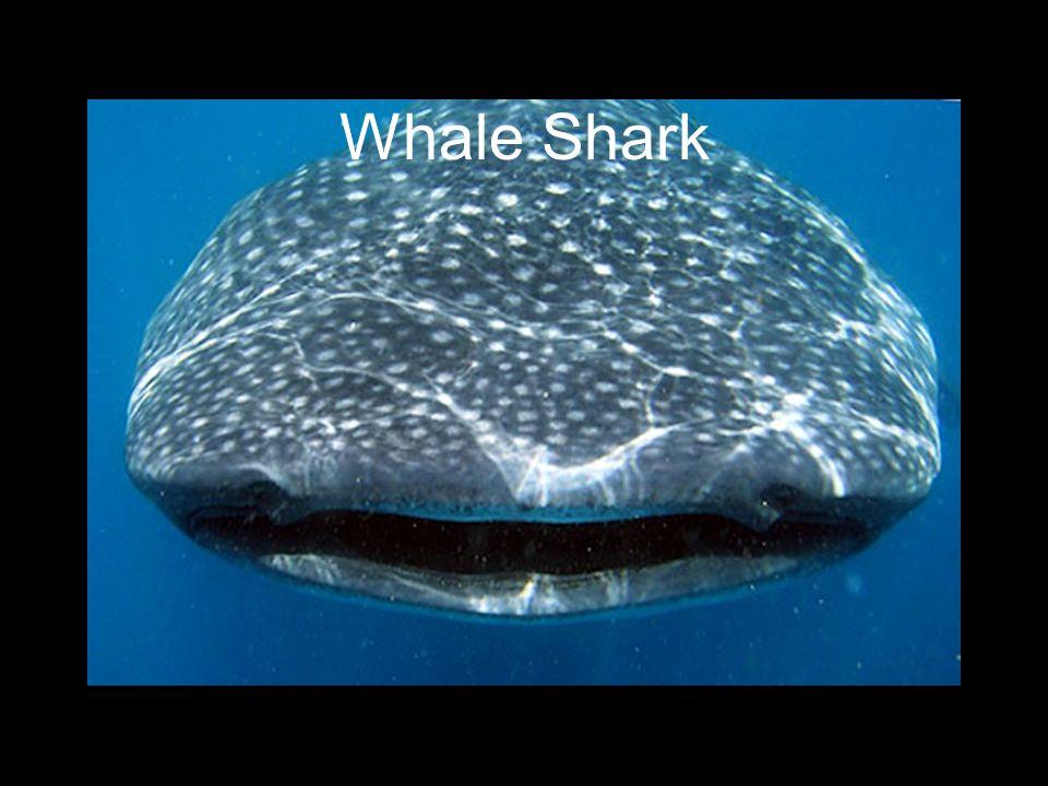 Isla Mujeres, Mexico Encounter with a Whale Shark Nov 2011