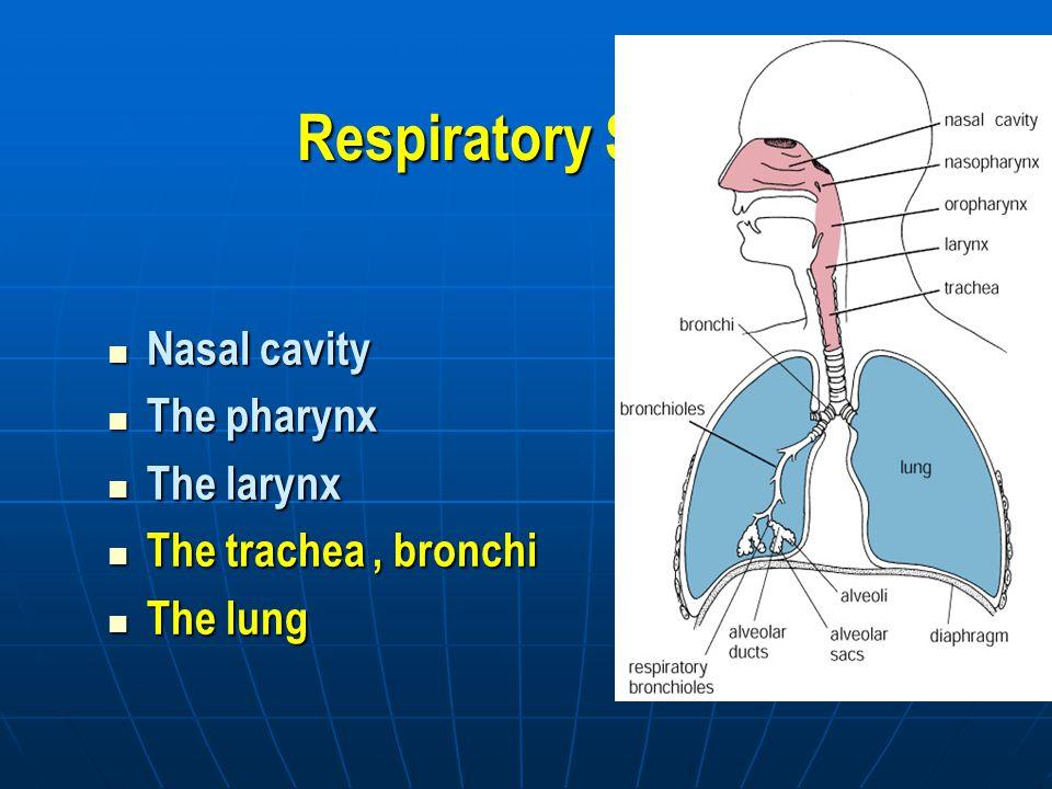 Respiratory System Nasal cavity Nasal cavity The pharynx The pharynx The larynx The larynx The trachea, bronchi The trachea, bronchi The lung The lung