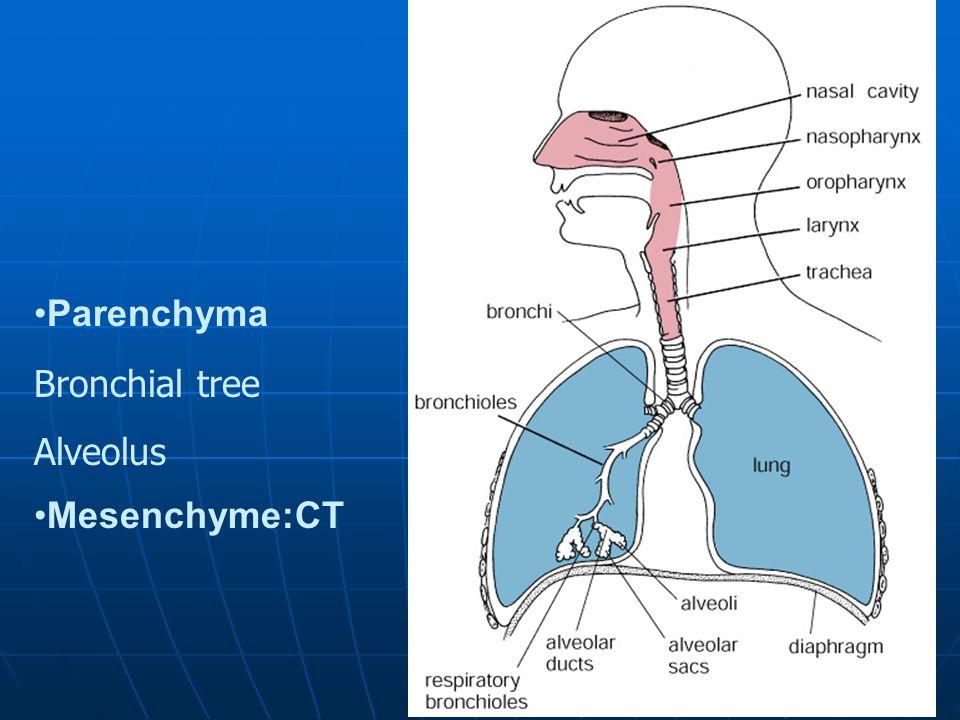 Lung Parenchyma Bronchial tree Alveolus Mesenchyme:CT