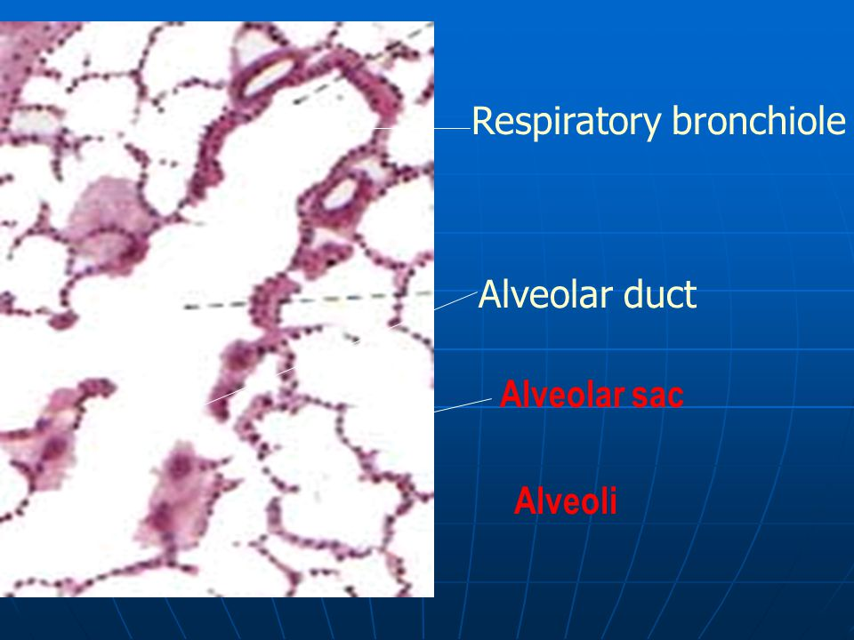 Respiratory bronchiole Alveolar duct Alveolar sac Alveoli
