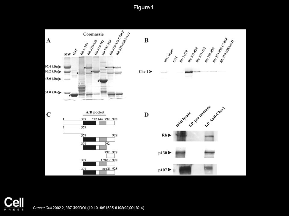 Figure 2 Cancer Cell 2002 2, 387-399DOI: (10.1016/S1535-6108(02)00182-4)