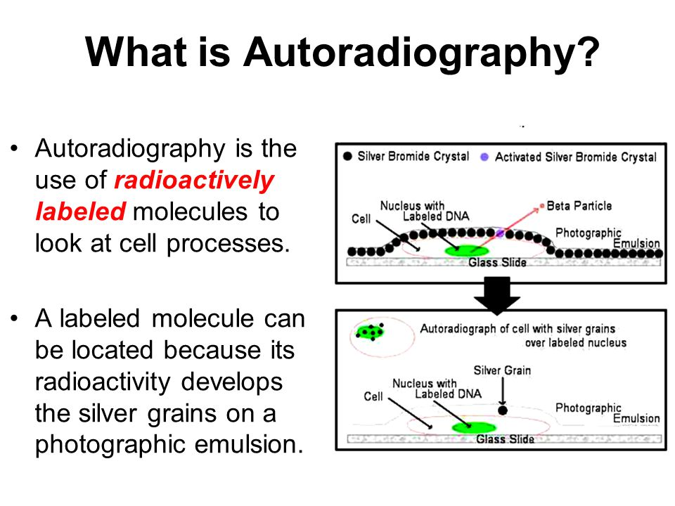 What is Autoradiography? Autoradiography is the use of radioactively labeled molecules to look at cell processes. A labeled molecule can be located be