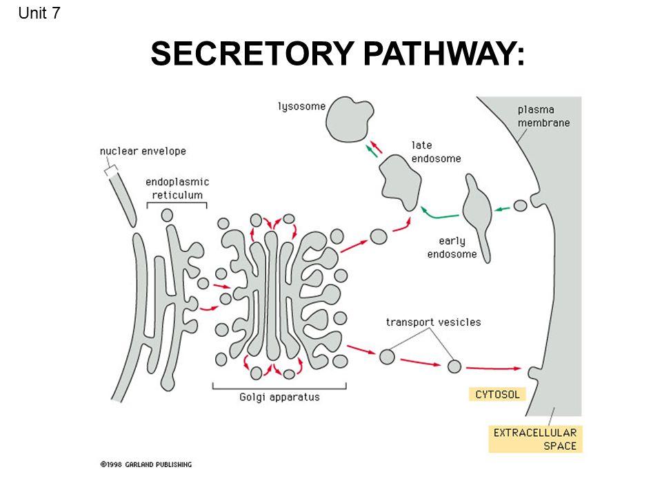 SECRETORY PATHWAY: Unit 7