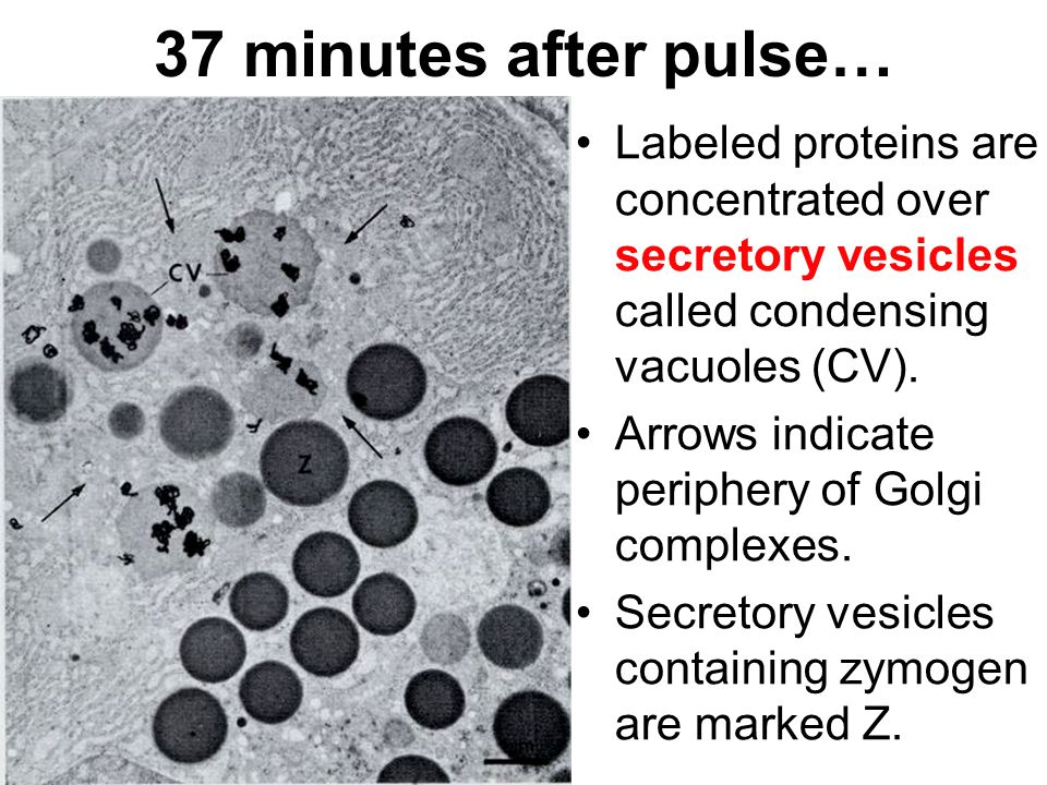 37 minutes after pulse… Labeled proteins are concentrated over secretory vesicles called condensing vacuoles (CV). Arrows indicate periphery of Golgi