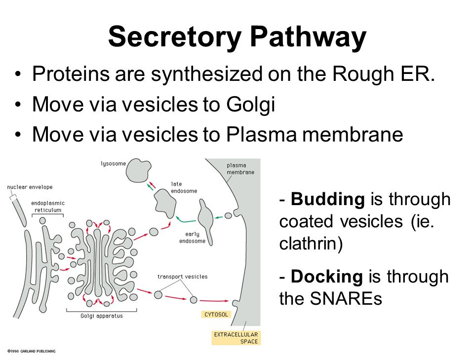 Secretory Pathway Proteins are synthesized on the Rough ER.