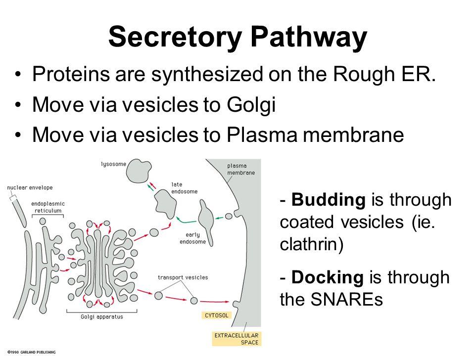 Secretory Pathway Proteins are synthesized on the Rough ER. Move via vesicles to Golgi Move via vesicles to Plasma membrane - Budding is through coate