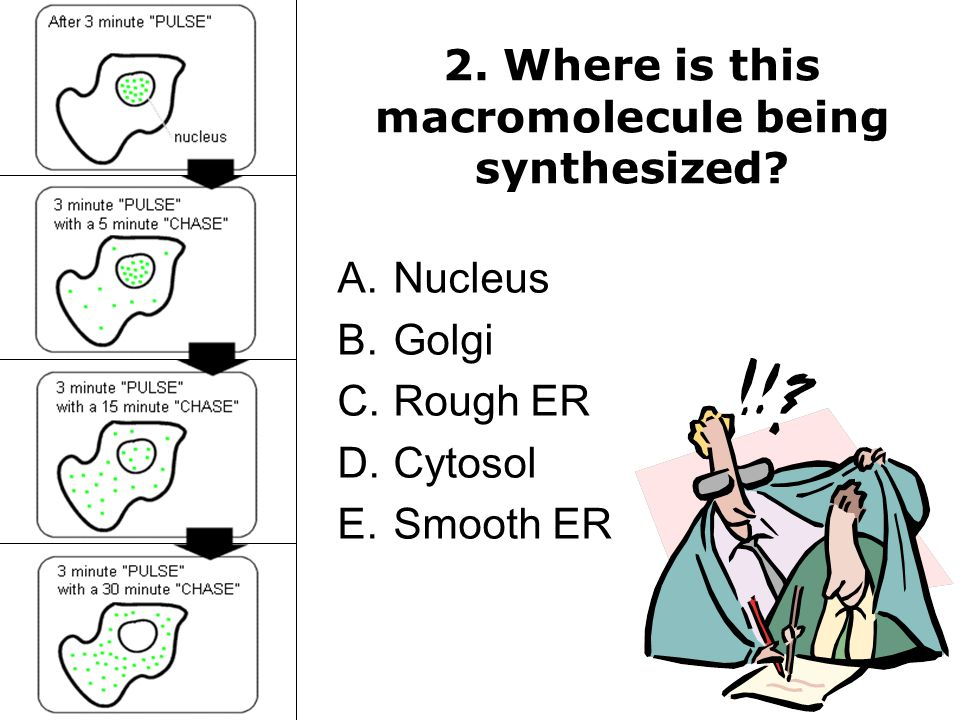 2.Where is this macromolecule being synthesized.
