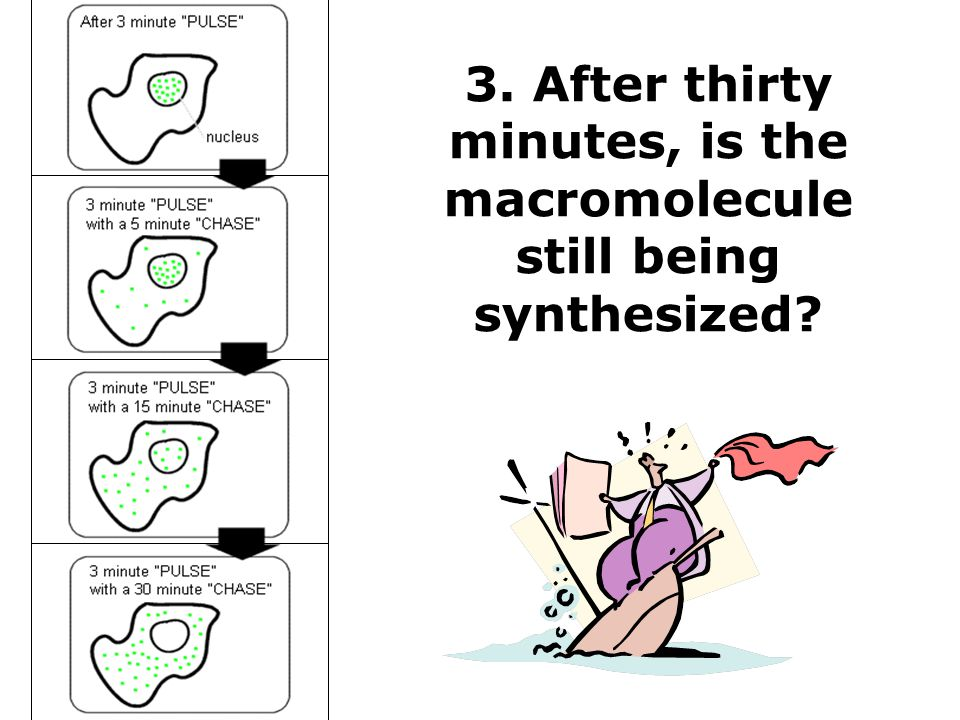 3. After thirty minutes, is the macromolecule still being synthesized?