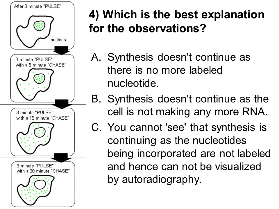 4) Which is the best explanation for the observations? A.Synthesis doesn't continue as there is no more labeled nucleotide. B.Synthesis doesn't contin