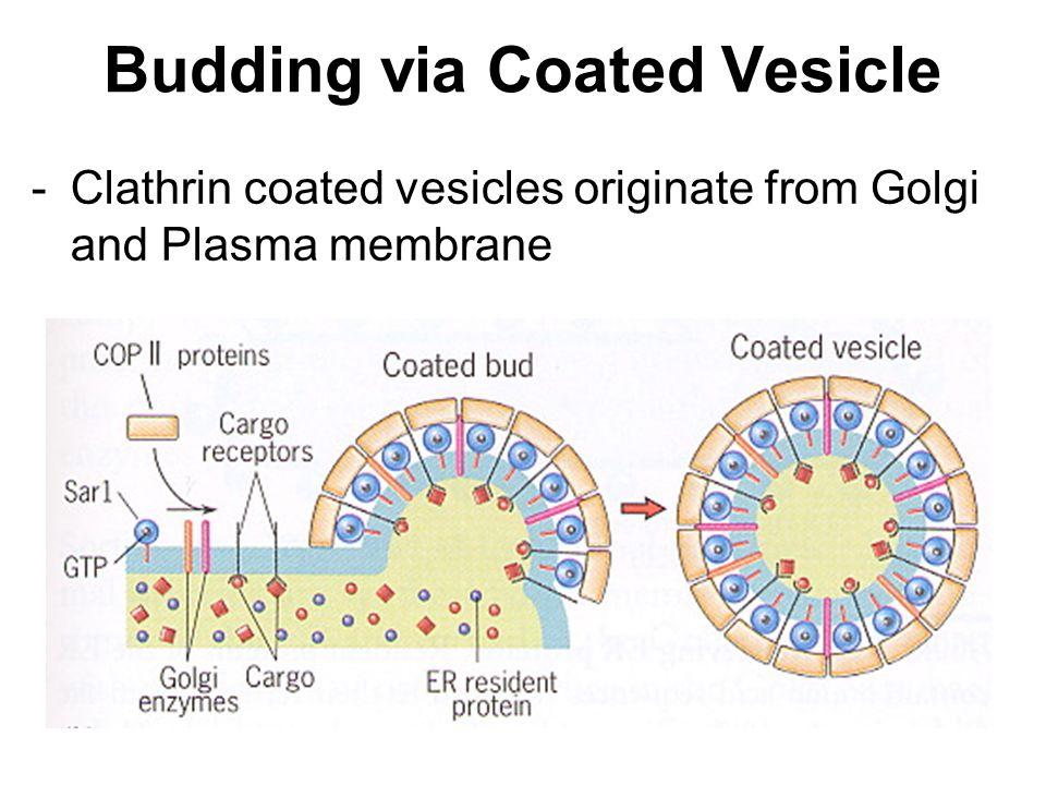 Budding via Coated Vesicle -Clathrin coated vesicles originate from Golgi and Plasma membrane