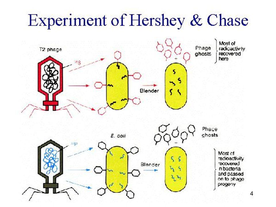 Escherichia coli Escherichia coli is a bacterium that is a common - but certainly not the most abundant - inhabitant of the human intestine.