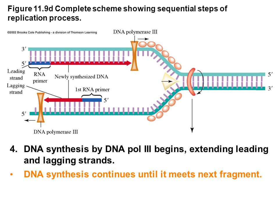 Figure 11.9d Complete scheme showing sequential steps of replication process.