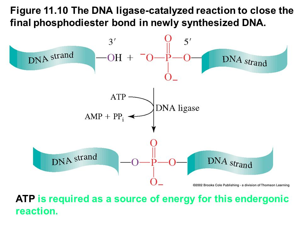 Figure 11.10 The DNA ligase-catalyzed reaction to close the final phosphodiester bond in newly synthesized DNA.
