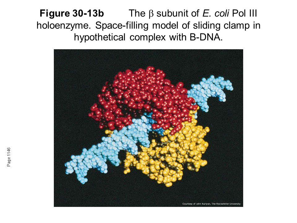 Figure 30-13bThe  subunit of E. coli Pol III holoenzyme.