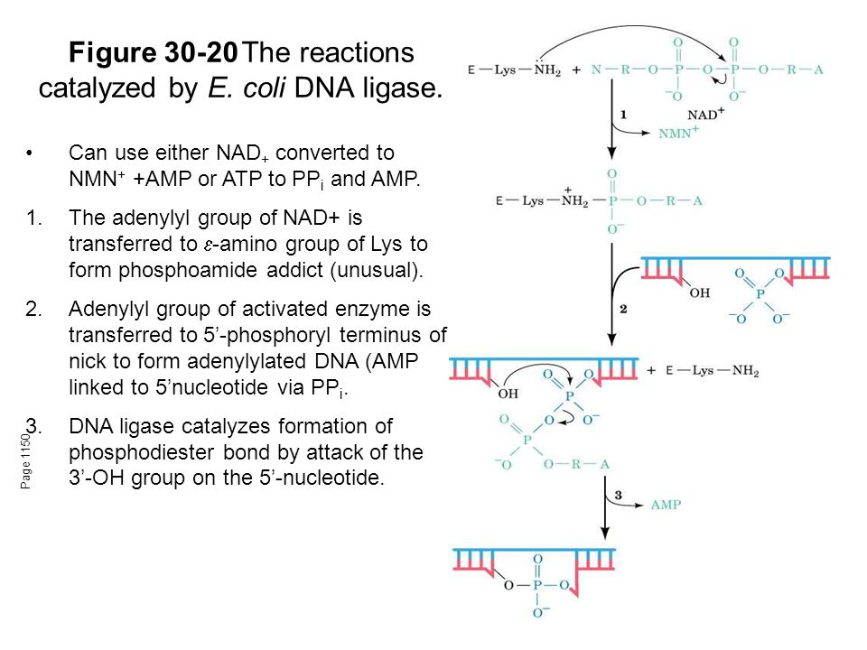 Figure 30-20The reactions catalyzed by E. coli DNA ligase.