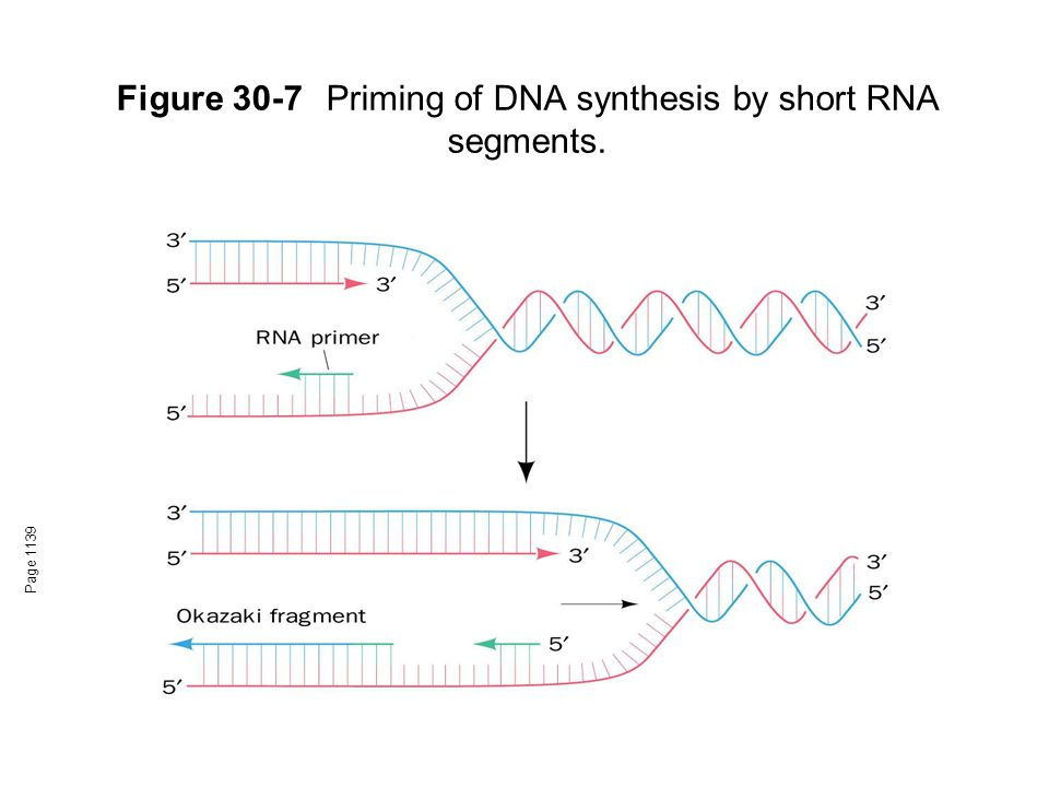 Figure 30-7Priming of DNA synthesis by short RNA segments. Page 1139