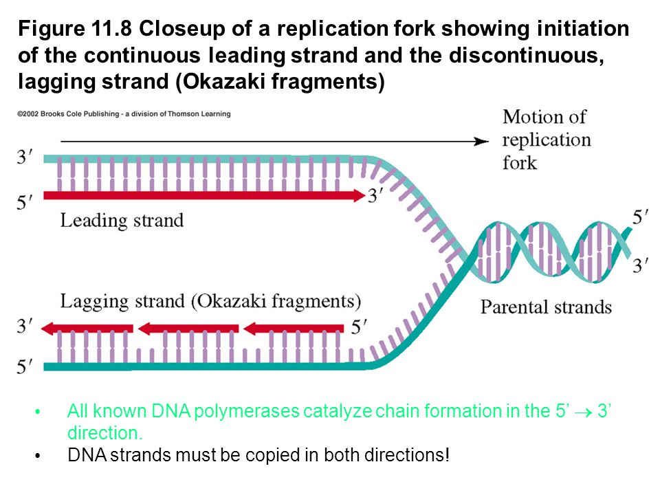 Figure 11.8 Closeup of a replication fork showing initiation of the continuous leading strand and the discontinuous, lagging strand (Okazaki fragments) All known DNA polymerases catalyze chain formation in the 5'  3' direction.