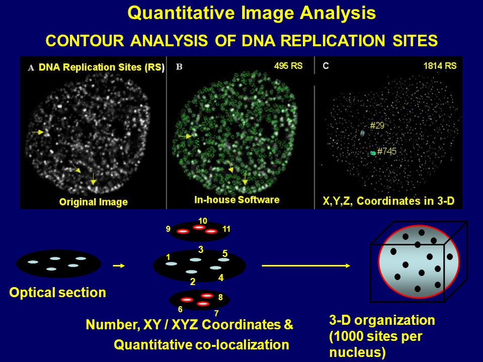 1 2 3 4 5 911 10 8 7 6 Optical section Number, XY / XYZ Coordinates & Quantitative co-localization 3-D organization (1000 sites per nucleus) Quantitative Image Analysis CONTOUR ANALYSIS OF DNA REPLICATION SITES