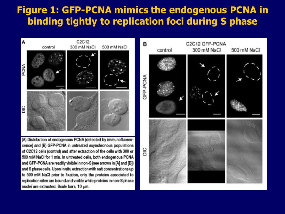 Figure 1: GFP-PCNA mimics the endogenous PCNA in binding tightly to replication foci during S phase