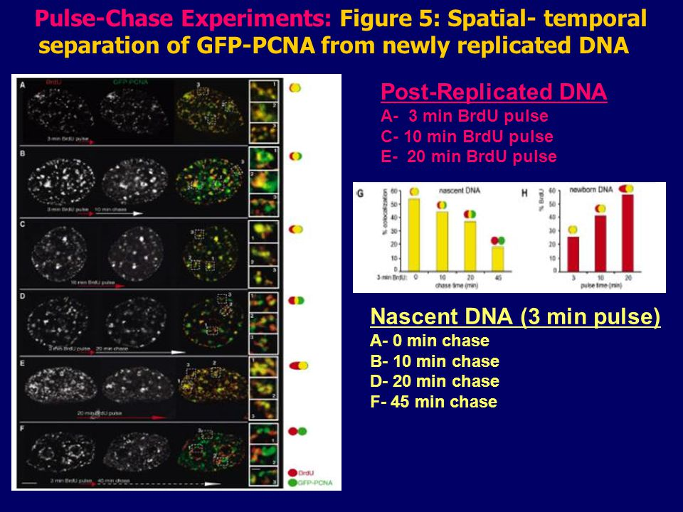 Nascent DNA (3 min pulse) A- 0 min chase B- 10 min chase D- 20 min chase F- 45 min chase Pulse-Chase Experiments: Figure 5: Spatial- temporal separation of GFP-PCNA from newly replicated DNA Post-Replicated DNA A- 3 min BrdU pulse C- 10 min BrdU pulse E- 20 min BrdU pulse