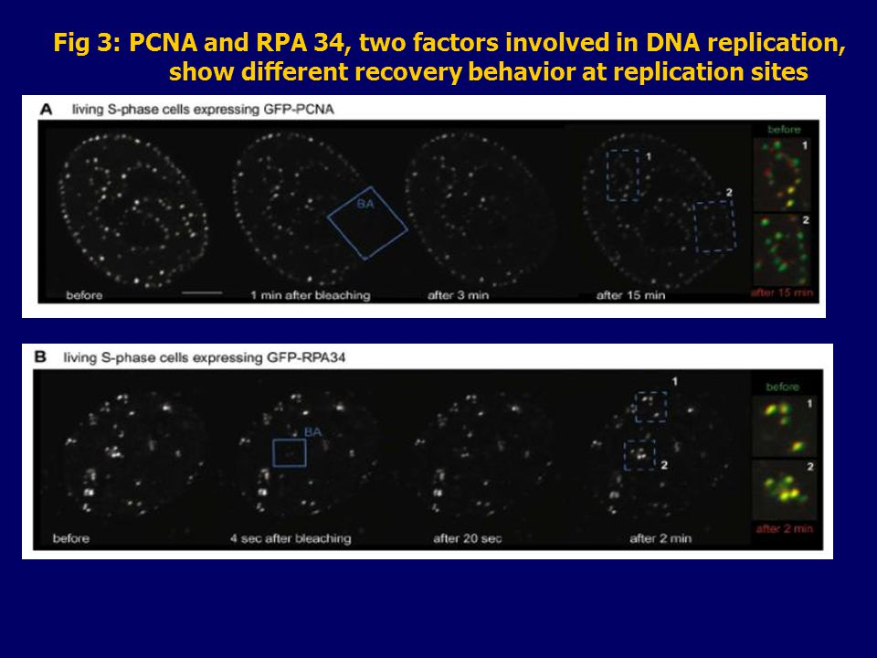 Fig 3: PCNA and RPA 34, two factors involved in DNA replication, show different recovery behavior at replication sites