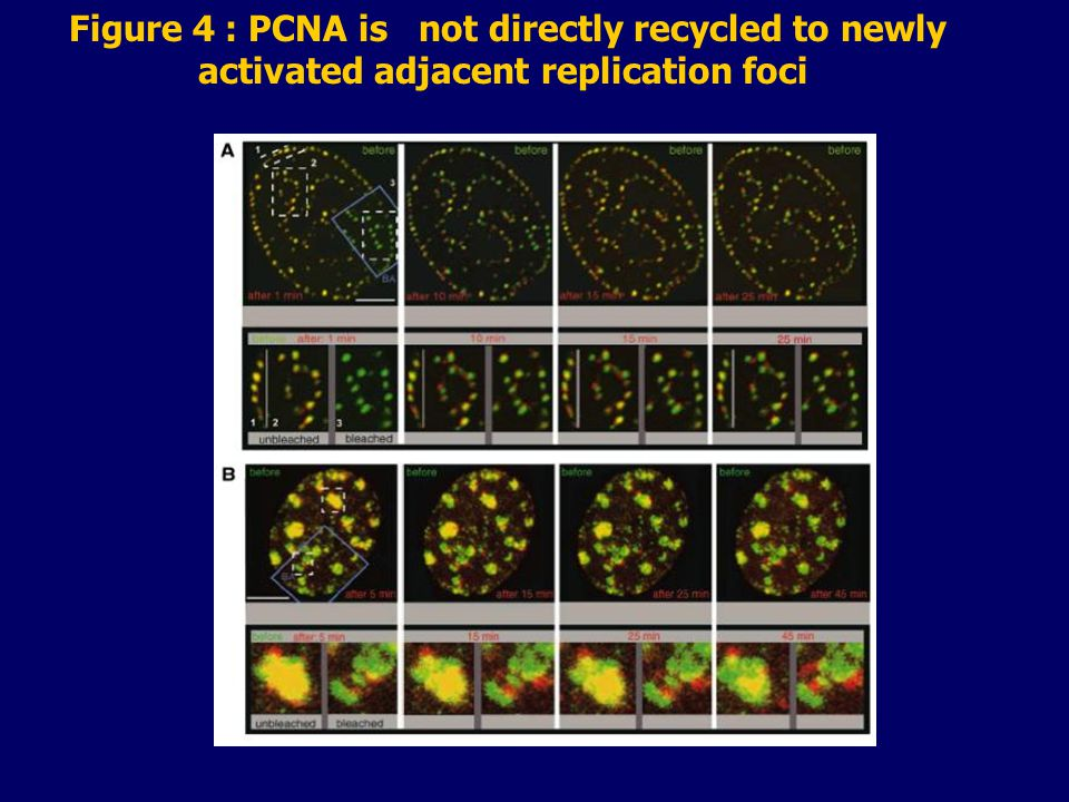 Figure 4 : PCNA is not directly recycled to newly activated adjacent replication foci