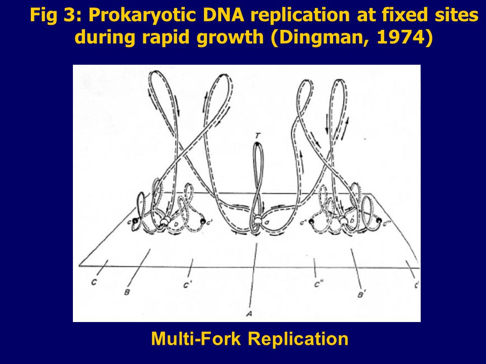 Fig 3: Prokaryotic DNA replication at fixed sites during rapid growth (Dingman, 1974) Multi-Fork Replication