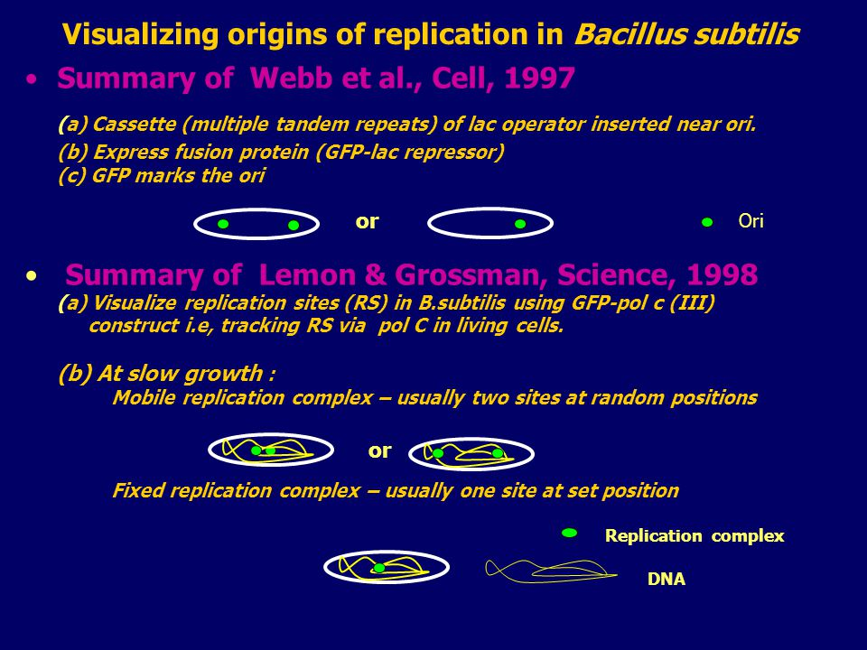Visualizing origins of replication in Bacillus subtilis Summary of Webb et al., Cell, 1997 (a) Cassette (multiple tandem repeats) of lac operator inserted near ori.