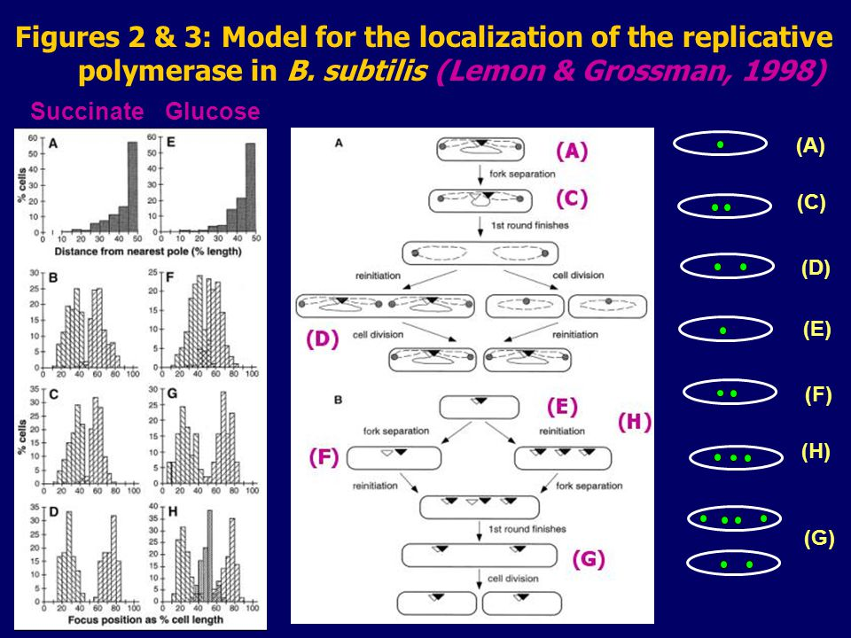 Figures 2 & 3: Model for the localization of the replicative polymerase in B.