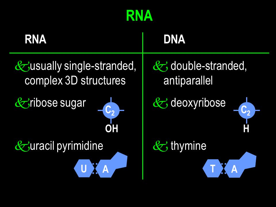 k usually single-stranded,  double-stranded, complex 3D structures antiparallel k ribose sugar  deoxyribose C2 HC2 H C 2 OH RNA A U A T RNA DNA k ur
