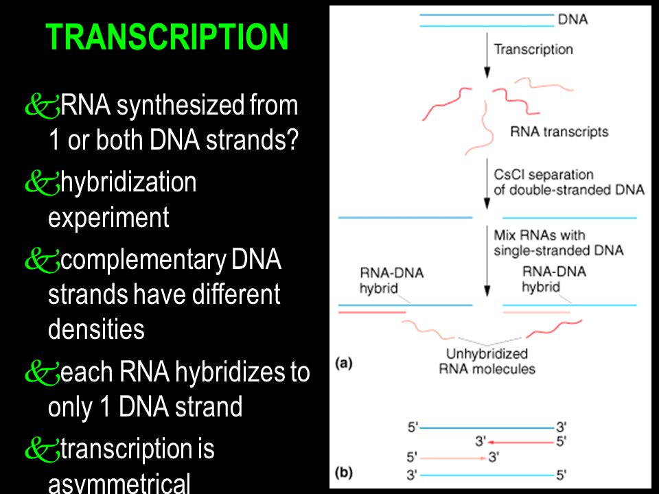 TRANSCRIPTION k RNA synthesized from 1 or both DNA strands? k hybridization experiment k complementary DNA strands have different densities k each RNA