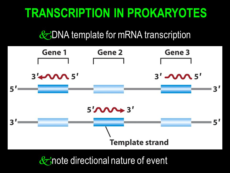 TRANSCRIPTION IN PROKARYOTES k DNA template for mRNA transcription k note directional nature of event