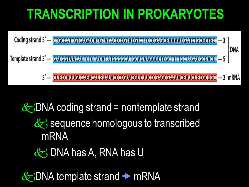 TRANSCRIPTION IN PROKARYOTES k DNA coding strand = nontemplate strand k sequence homologous to transcribed mRNA k DNA has A, RNA has U k DNA template strand  mRNA