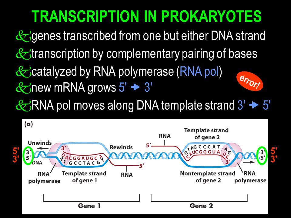 TRANSCRIPTION IN PROKARYOTES knew mRNA grows 5  3 kRNA pol moves along DNA template strand 3  5 5 3 5 3 error.