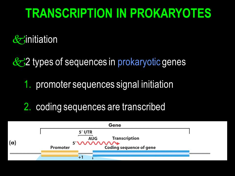 TRANSCRIPTION IN PROKARYOTES kinitiation k2 types of sequences in prokaryotic genes 1.
