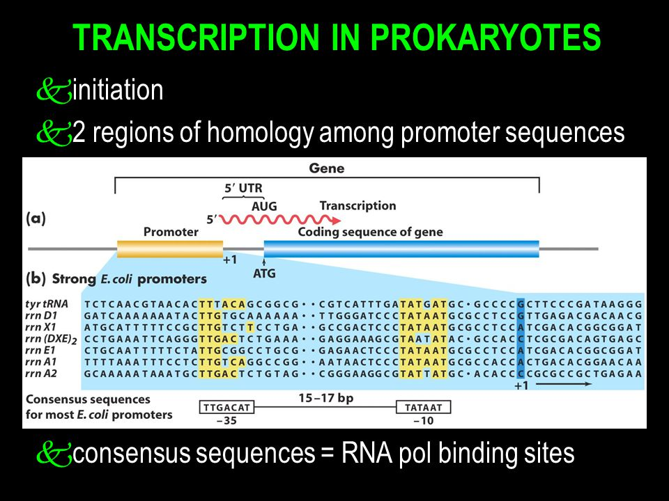 TRANSCRIPTION IN PROKARYOTES kinitiation k2 regions of homology among promoter sequences kconsensus sequences = RNA pol binding sites