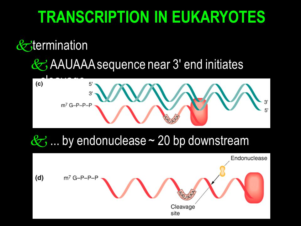 TRANSCRIPTION IN EUKARYOTES ktermination k AAUAAA sequence near 3' end initiates cleavage k... by endonuclease ~ 20 bp downstream