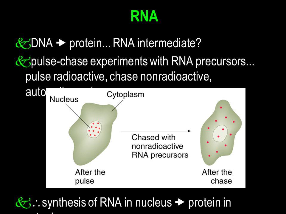 RNA k DNA  protein... RNA intermediate. k pulse-chase experiments with RNA precursors...