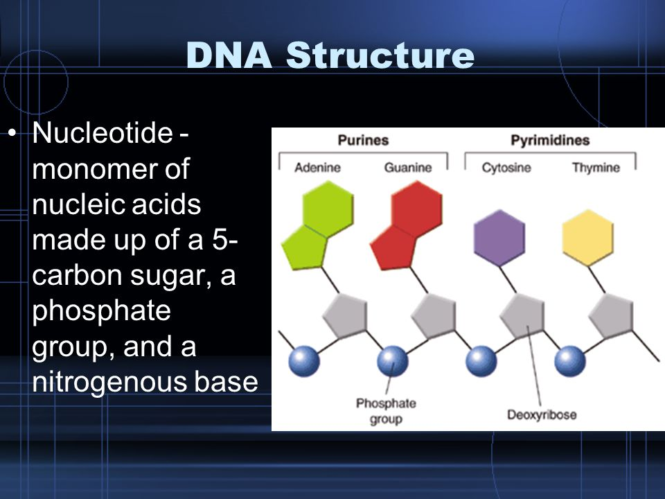 DNA Structure Nucleotide - monomer of nucleic acids made up of a 5- carbon sugar, a phosphate group, and a nitrogenous base