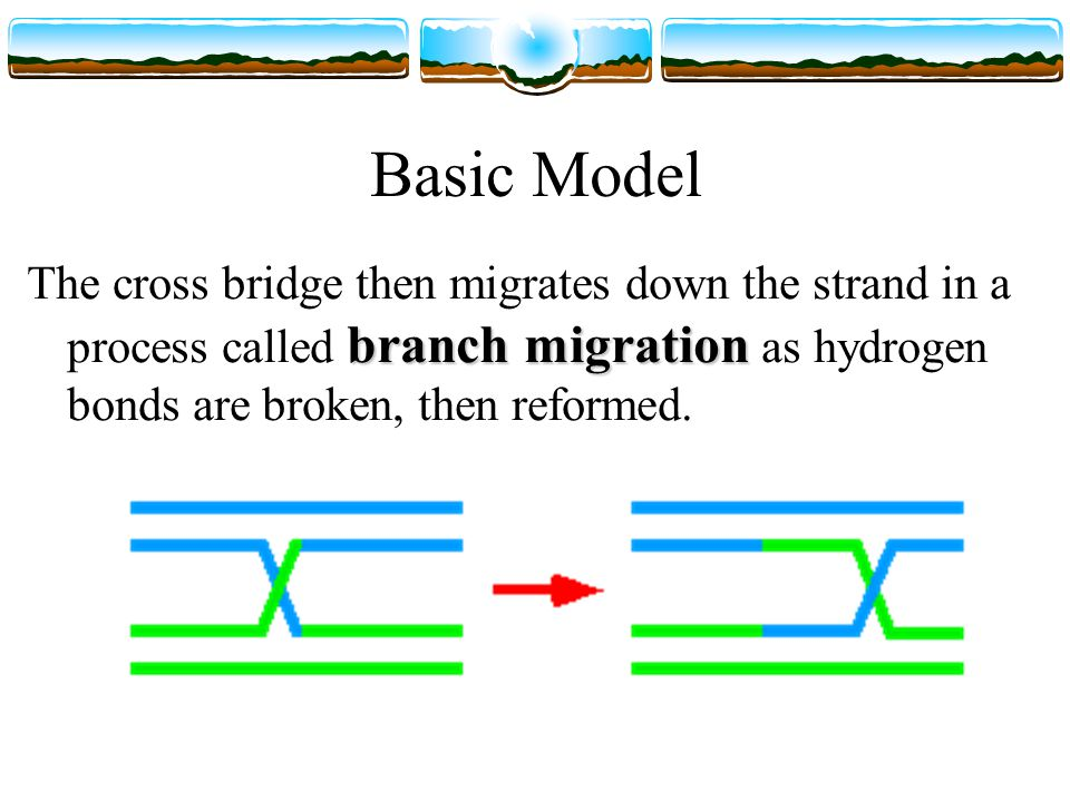 Basic Model branch migration The cross bridge then migrates down the strand in a process called branch migration as hydrogen bonds are broken, then reformed.