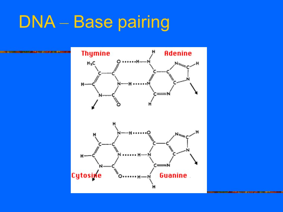 DNA – Base pairing