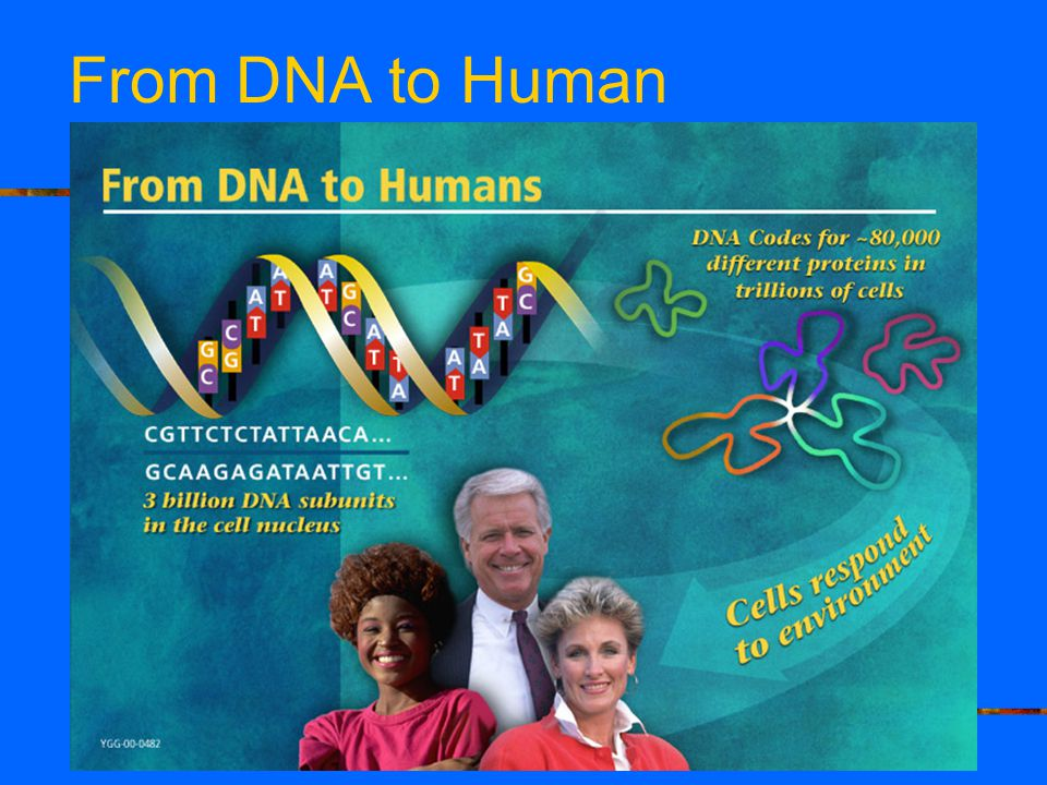From DNA to Human