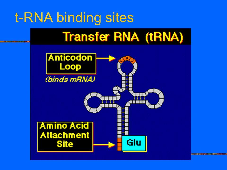 t-RNA binding sites