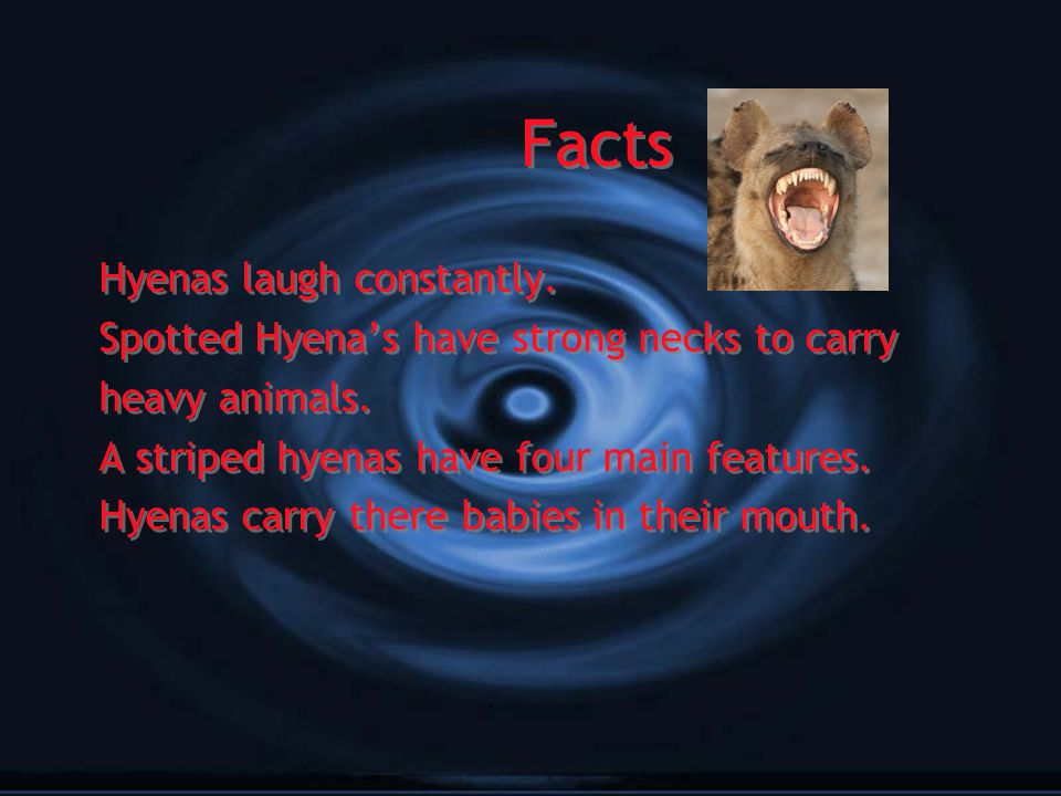 Facts Hyenas laugh constantly. Spotted Hyena's have strong necks to carry heavy animals. A striped hyenas have four main features. Hyenas carry there