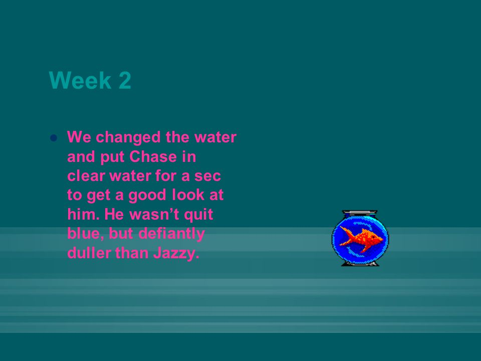 Week 2 We changed the water and put Chase in clear water for a sec to get a good look at him.