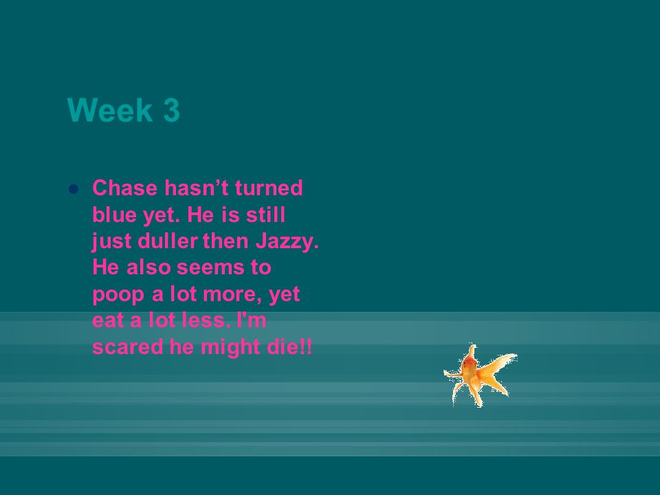 Week 3 Chase hasn't turned blue yet. He is still just duller then Jazzy. He also seems to poop a lot more, yet eat a lot less. I'm scared he might die